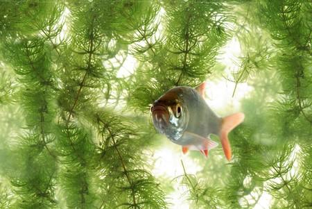 roach: swimming between plants roach