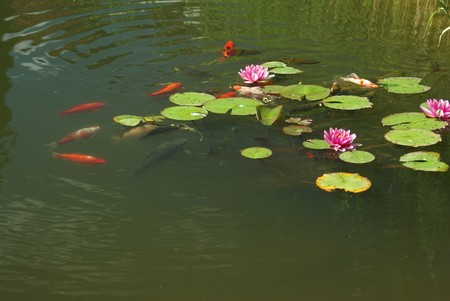 swimming fish in pond from water lilies photo
