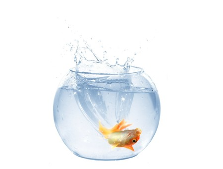 jump of gold fish to aquarium on white background photo