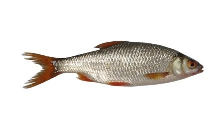 large fresh roach on white background photo