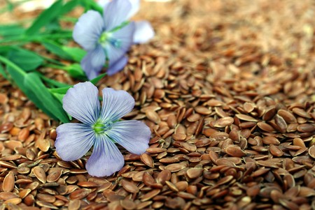 flax seed: the plant of flax from blue flowers on seeds Stock Photo