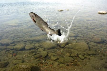 springen uit het water op witte achtergrond forel Stockfoto