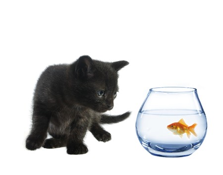 moggi: young black watching in aquarium fish cat