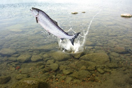 jumping out from water big salmon  photo