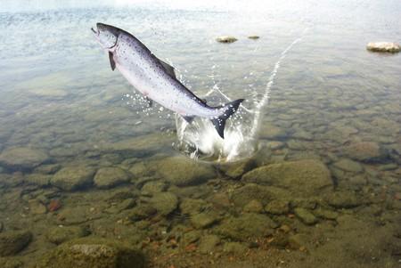 saltar fuera de los grandes de salmón de agua  Foto de archivo