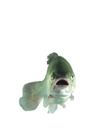 alive trout on white background Stock Photo - 7765552