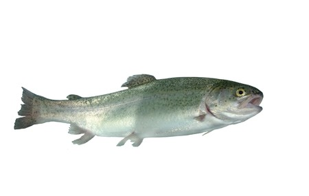 alive trout on white background Stock Photo - 7765570