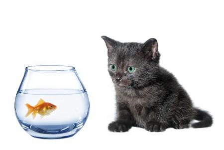 moggi: young black watching in aquarium fish cat