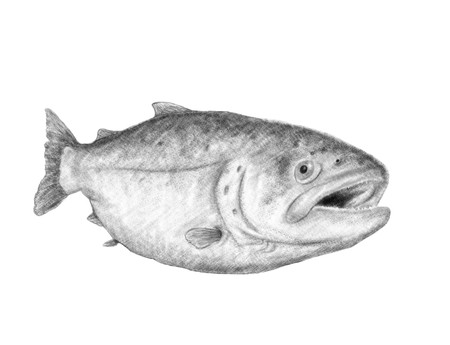 drawing of great salmon on white background
