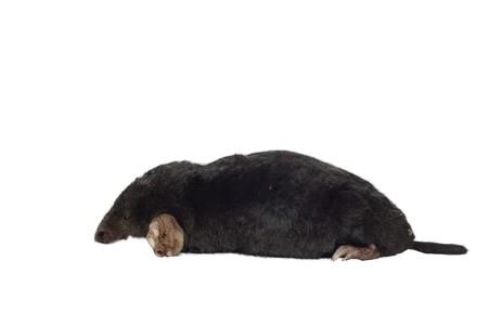 Schwarzer Mole auf weißem Hintergrund