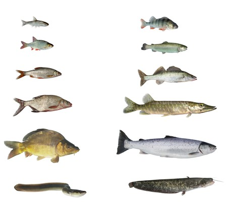 pickerel: fish of rivers and lakes on white background
