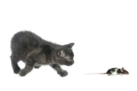 kitten and running away mouse on white background photo