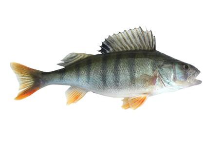 escamas de peces: perca aislado sobre fondo blanco  Foto de archivo