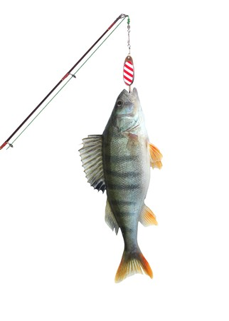 hand line fishing: perch on fishing-rod on white background