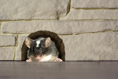 house mouse: goes out from hole in house mouse Stock Photo