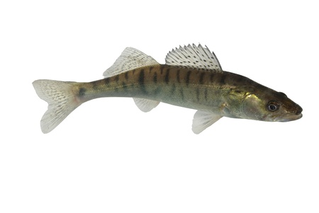 long zander on white background Stock Photo - 8273907