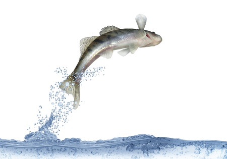 freshwater fish: long zander on white background
