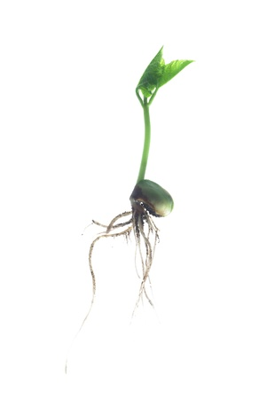 germinating bean on white background photo