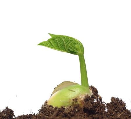 germinating: germinating bean on white background Stock Photo
