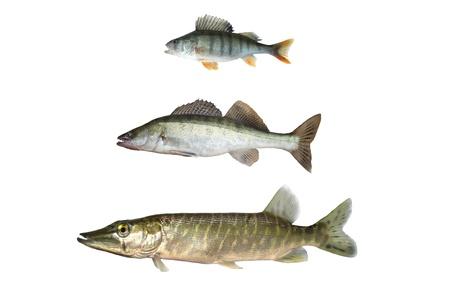 three predatory fish on white background photo