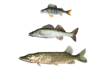 three predatory fish on white background photo