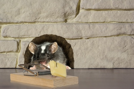 rodents: mouse and trap on stone background