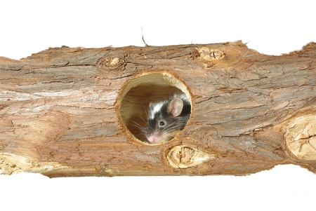 mouse in hole in wooden trunk photo