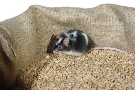 eating in bag wheat with grain mouse Stock Photo - 8864277