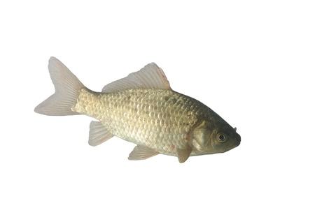 crucian carp on white background Stock Photo - 8868316