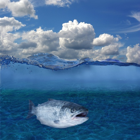 long salmon on background of bottom of river photo