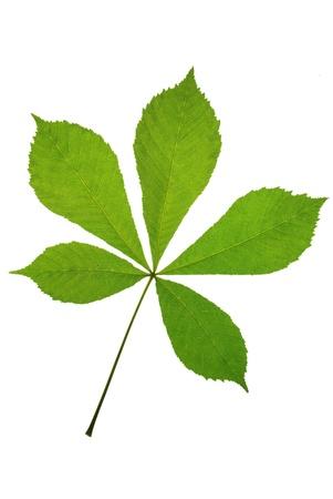 horse chestnut: leaf chestnut on white background