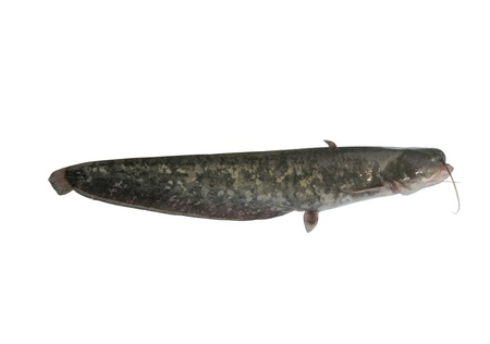 bullhead: big catfish on white background