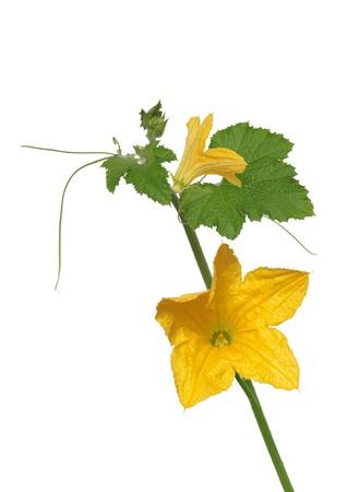 edible leaves: pumpkin flower on white background Stock Photo