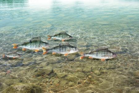 bass fish: swimming in water predatory perch