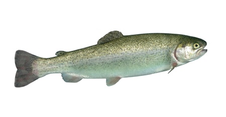 alive rainbow trout on white background Stock Photo