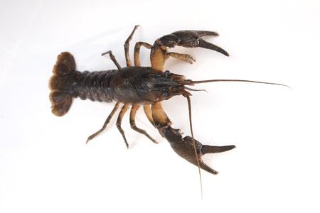 big crayfish on white background photo