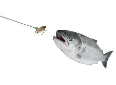 chasing bait salmon on white background Stock Photo - 10780879