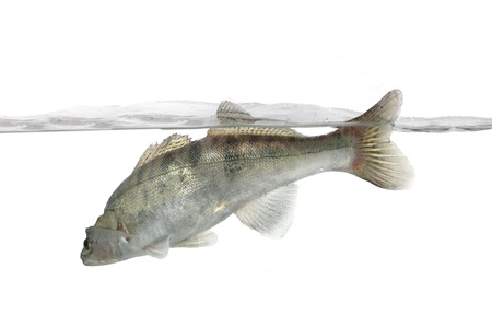 long zander in water  photo
