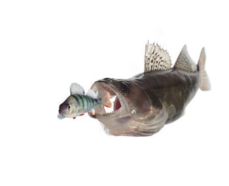 chasing perch  zander on white background Stock Photo - 11112517