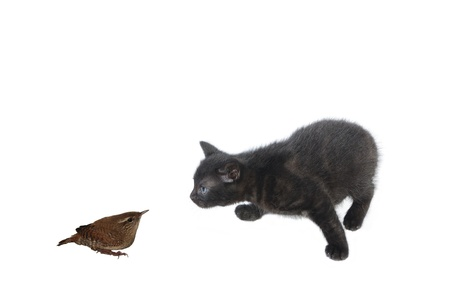 moggi: young black cat and bird on white background