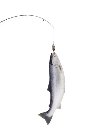 trout fishing: big salmon on fishing-rod on white background  Stock Photo
