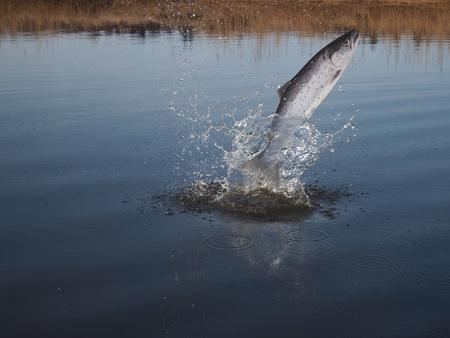 springen uit het water zalm op de rivier de achtergrond Stockfoto