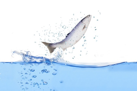 jumping out from water salmon  on white background