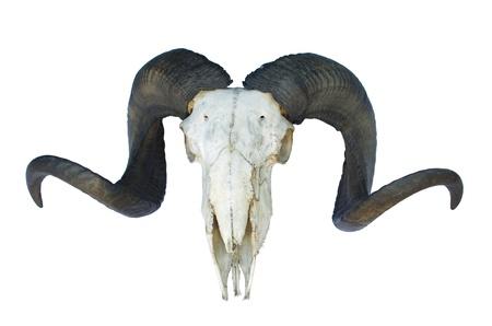 cabras: ram cr�neo con grandes cuernos aislados en fondo blanco