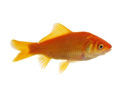crucian carp on white background Stock Photo - 13612525