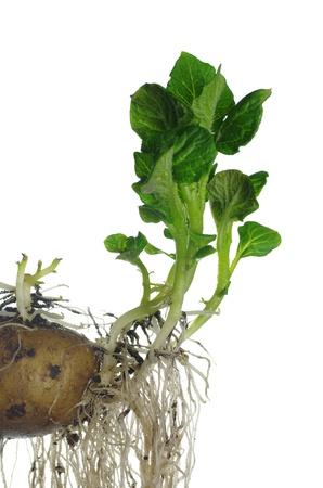 germinating: germinating potato on white background