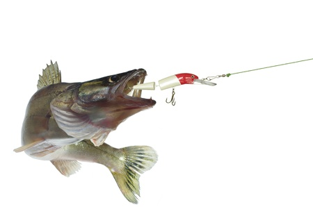 long zander and bait on white background