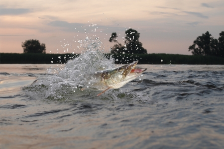 pickerel:  jumping out from water long pike