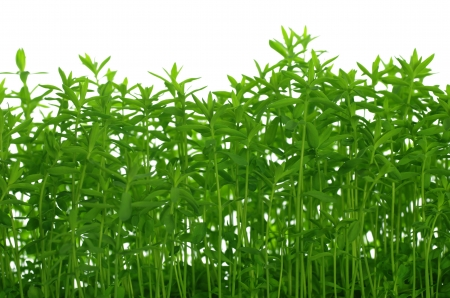 background with growing green flax photo