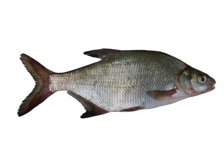 large fresh bream on white background photo